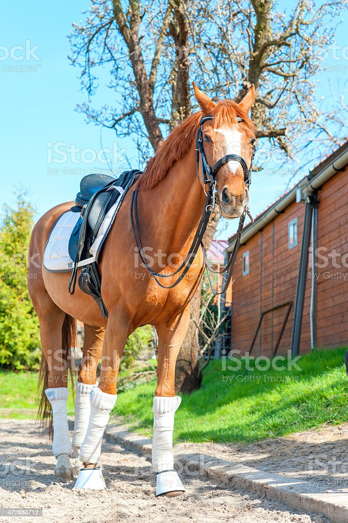 Purebred chestnut stallion in bandages standing on pasturage. stock photo