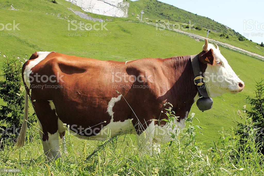 Purebred cow Abundance stock photo
