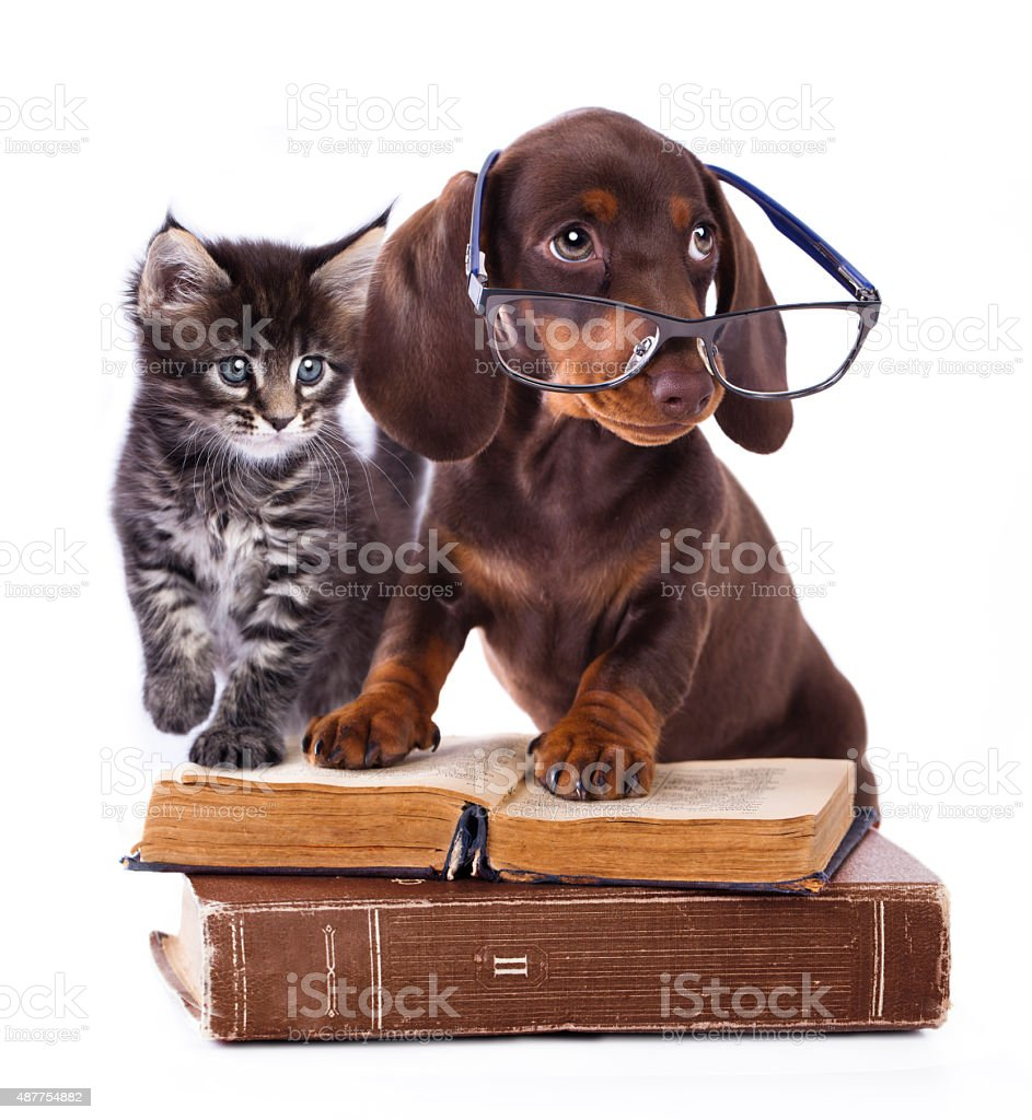 purebred dachshu in glasses and kitten stock photo