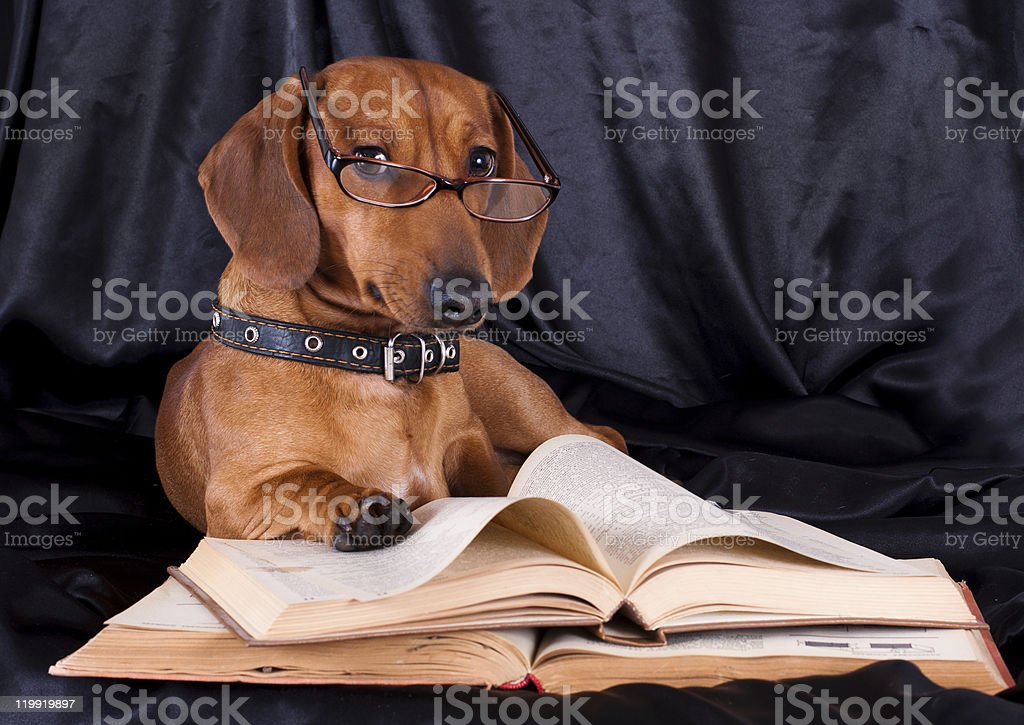 purebred dachshund and book royalty-free stock photo