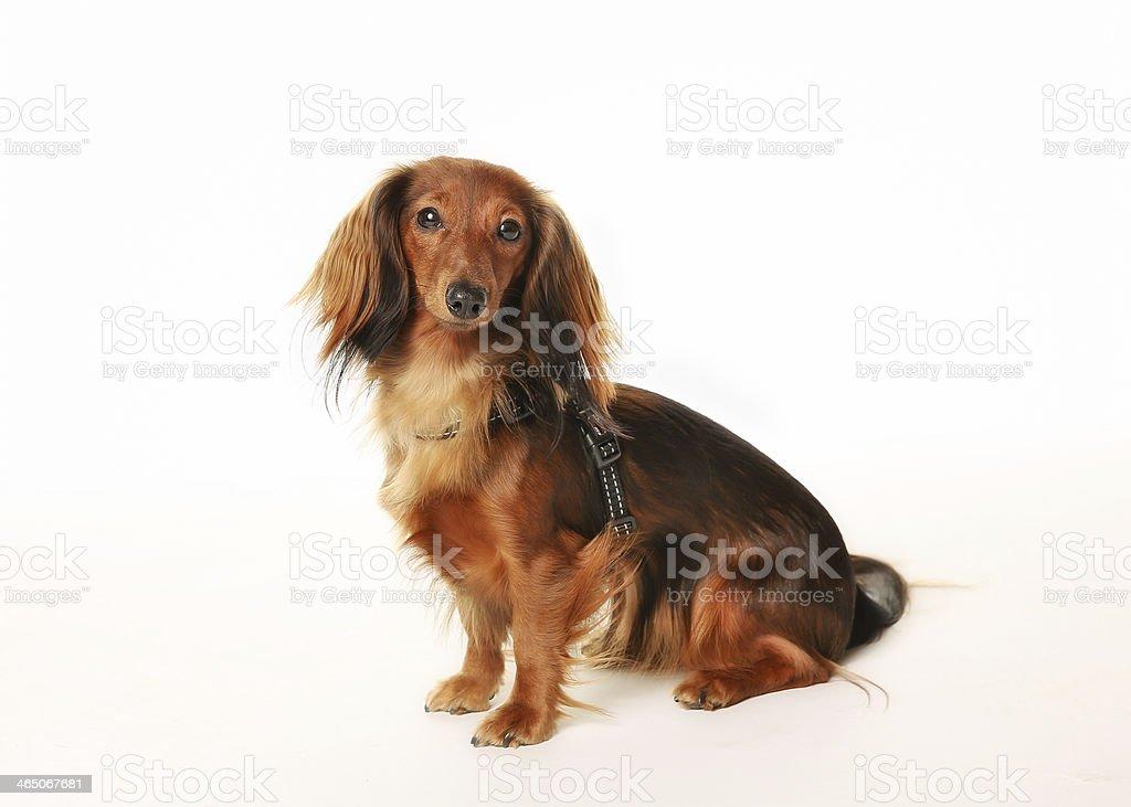 Purebred dachshund stock photo