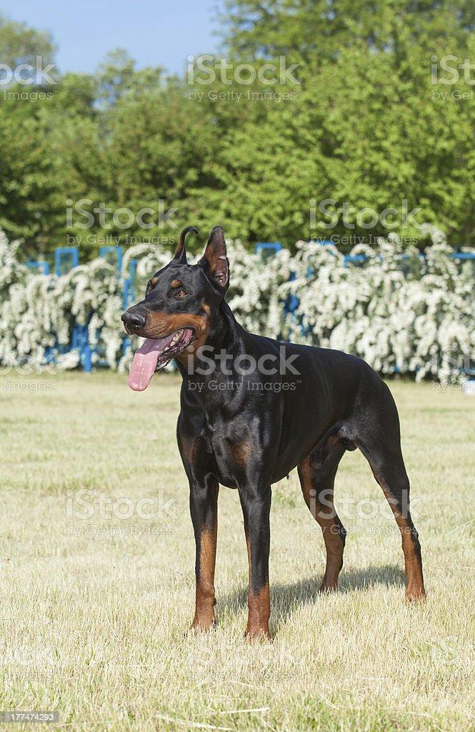Purebred  dog Doberman royalty-free stock photo