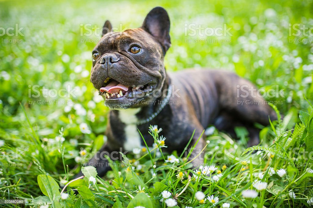 Purebred Dog French Bulldog laying in flowers stock photo