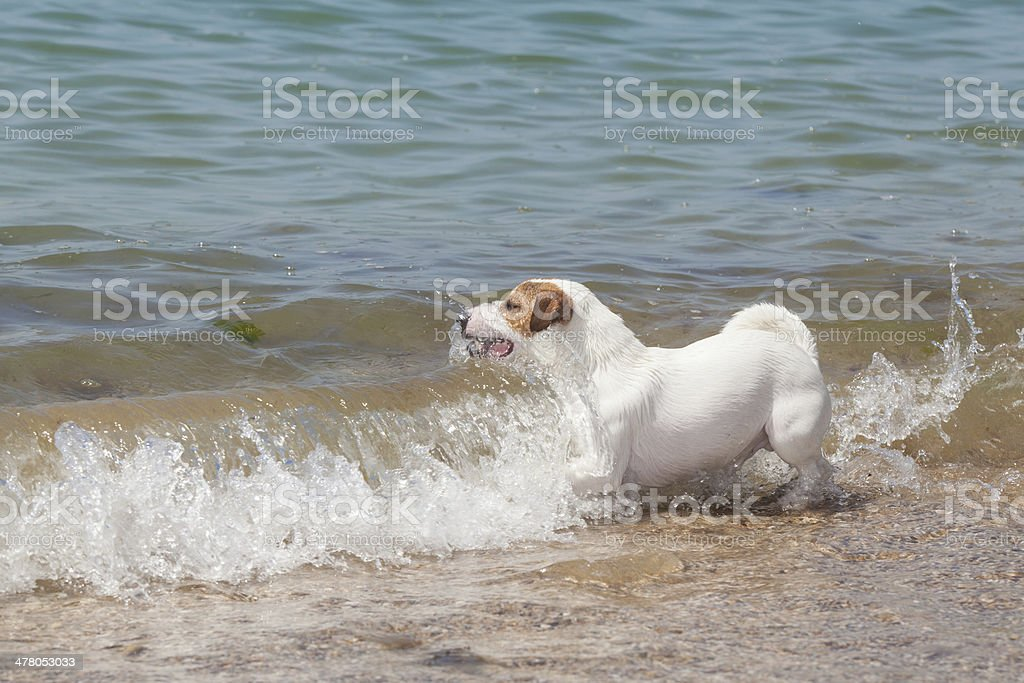 Purebred dog  Jack Russell Terrier plays royalty-free stock photo
