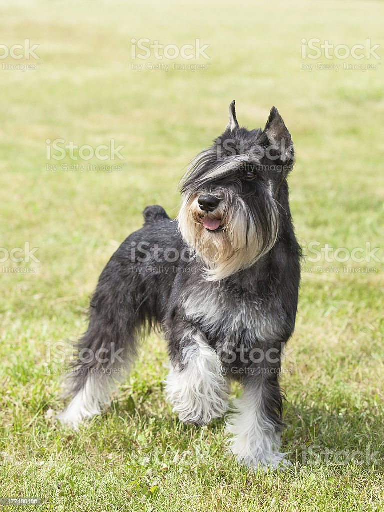Purebred  dog Miniature schnauzer on green grass royalty-free stock photo