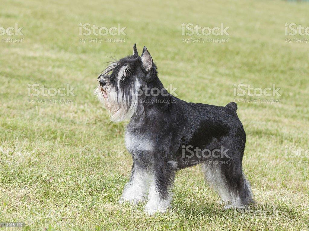 Purebred  dog Miniature schnauzer on green grass royalty-free stock photo