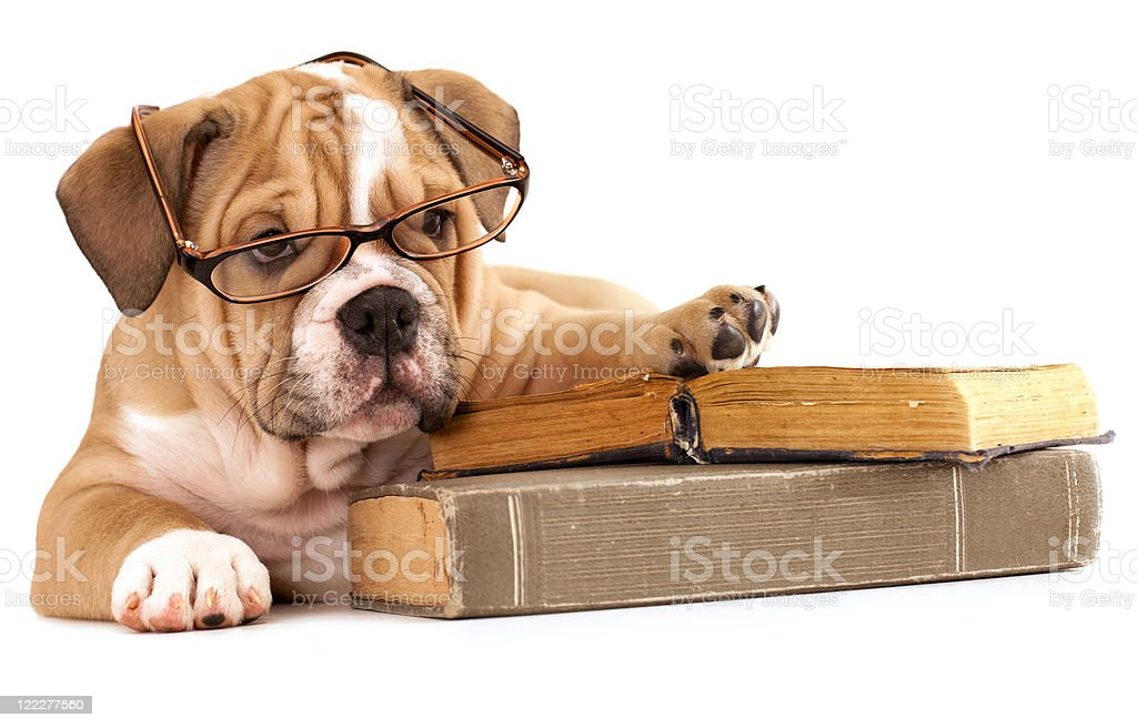 purebred english Bulldog and book stock photo