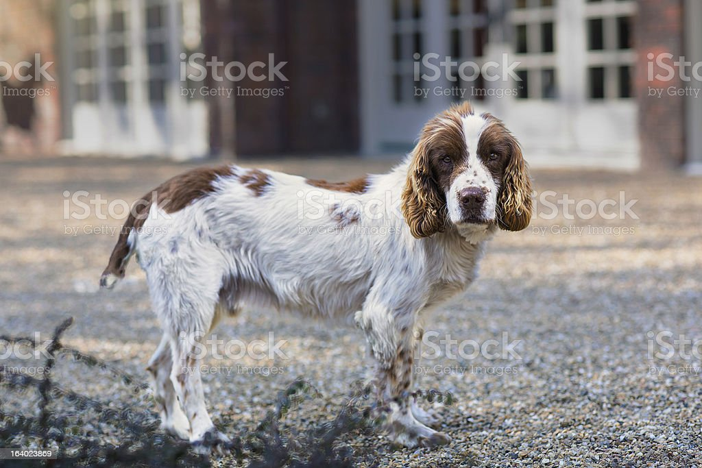 Purebred English Springer Spaniel royalty-free stock photo
