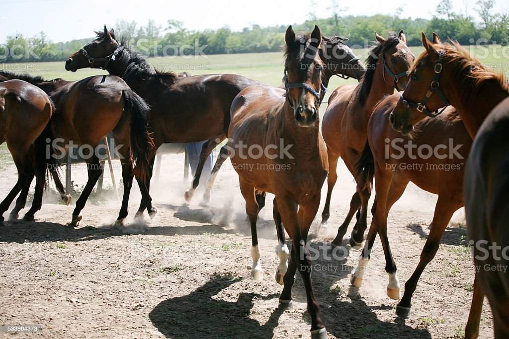 Purebred foals running to the barn summer afternoon stock photo