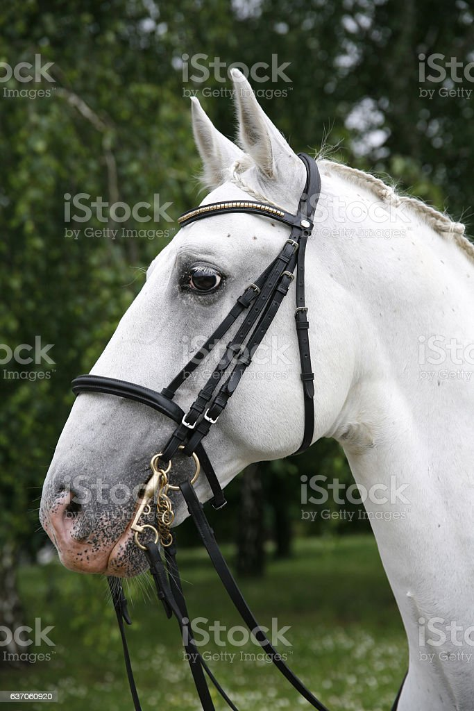 Purebred gray lipizzaner stallion under saddle stock photo