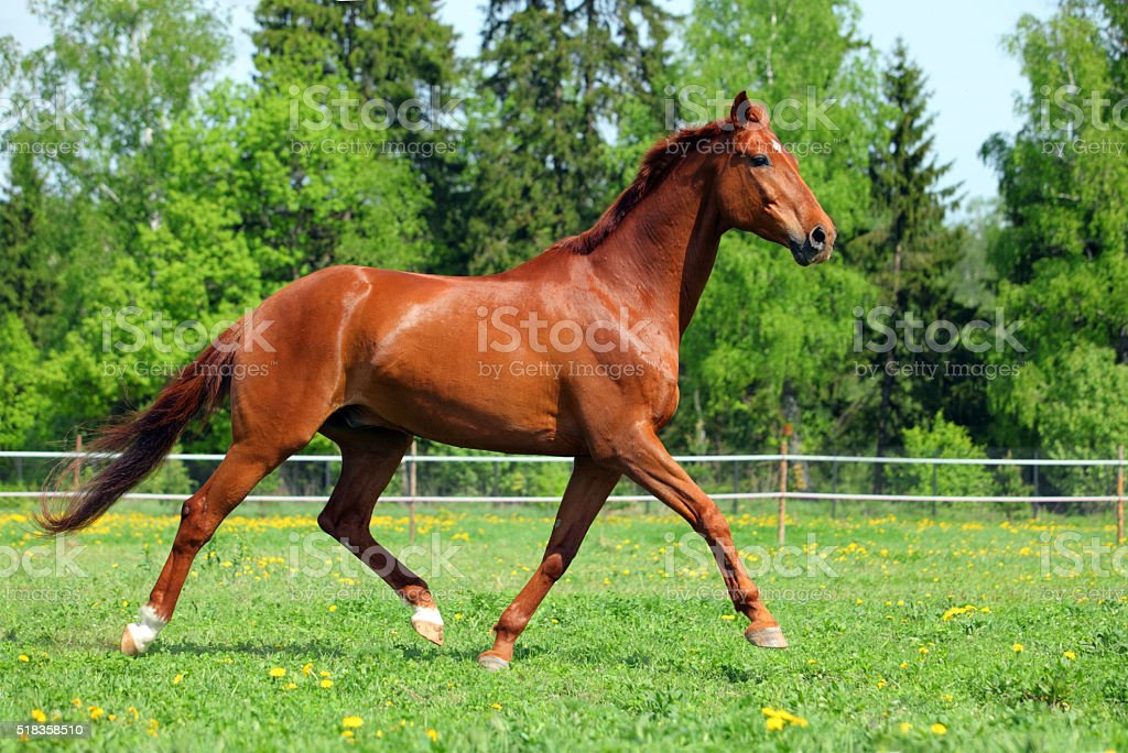 Purebred horse galloping across a green field stock photo