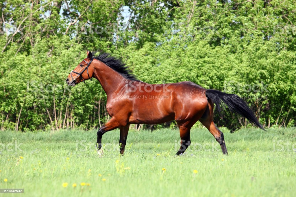 Purebred horse galloping in meadow stock photo