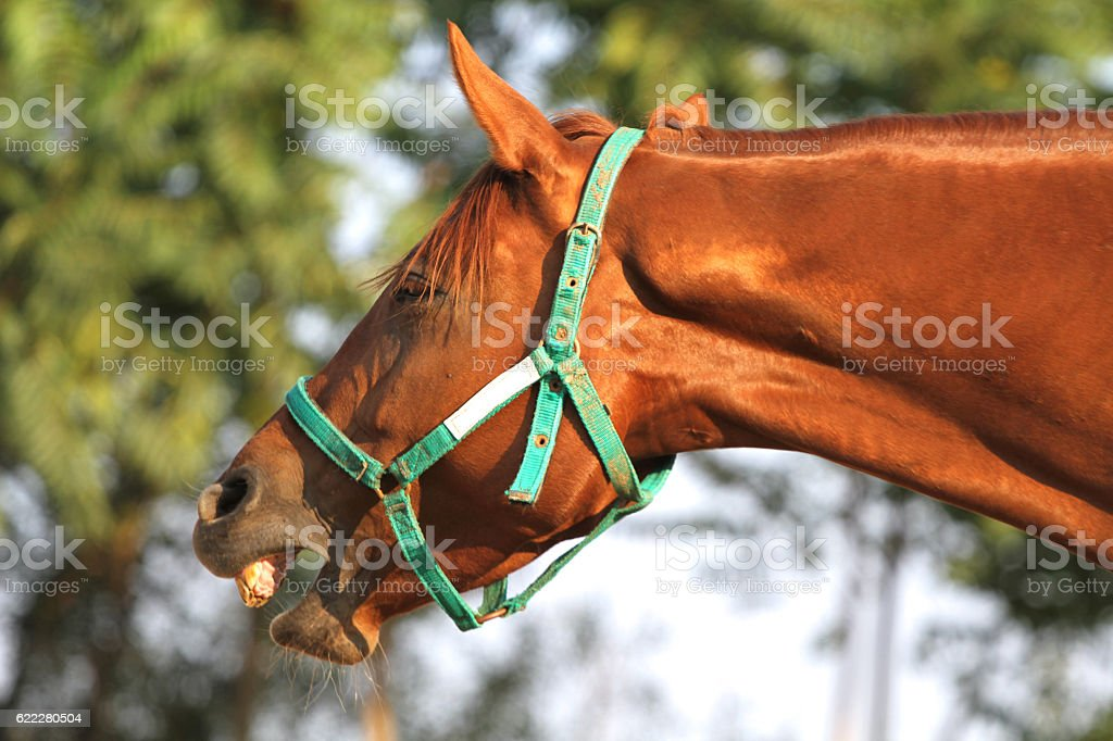 Purebred horse laughing in the meadow against green trees stock photo
