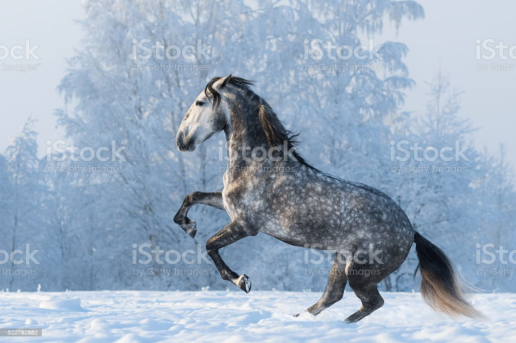 Purebred horse prancing on winter meadow stock photo