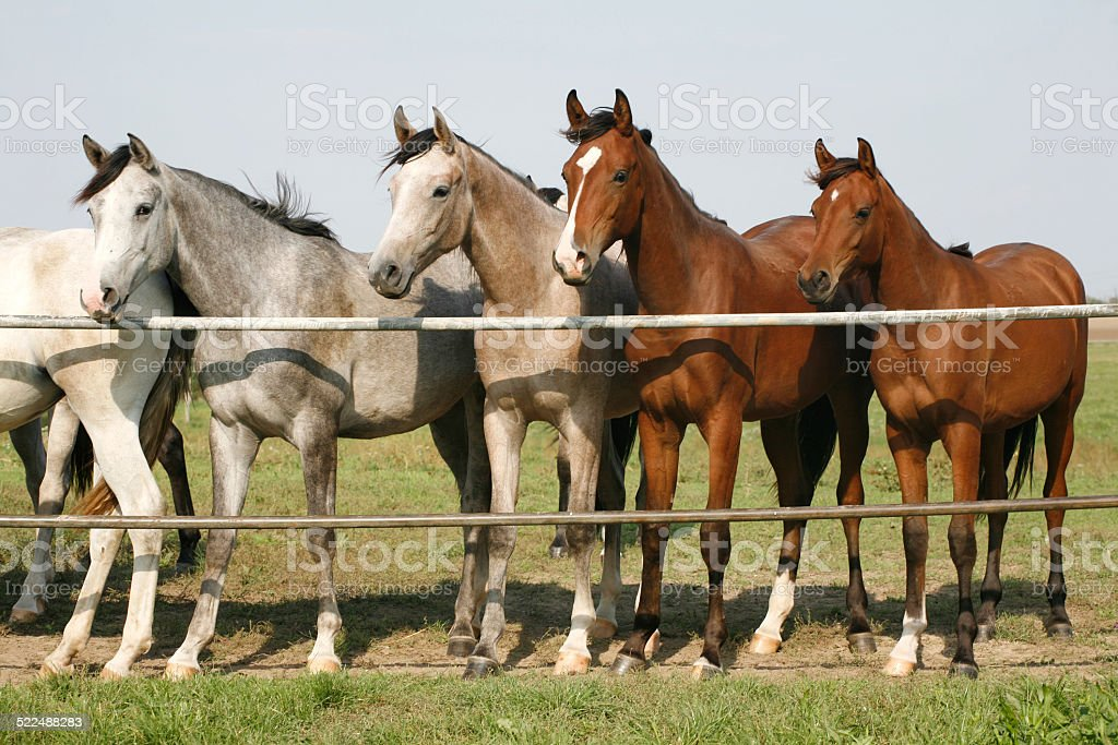 Purebred horses standing at  corral gate stock photo