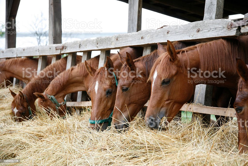 Purebred horses with their heads down eating hay stock photo