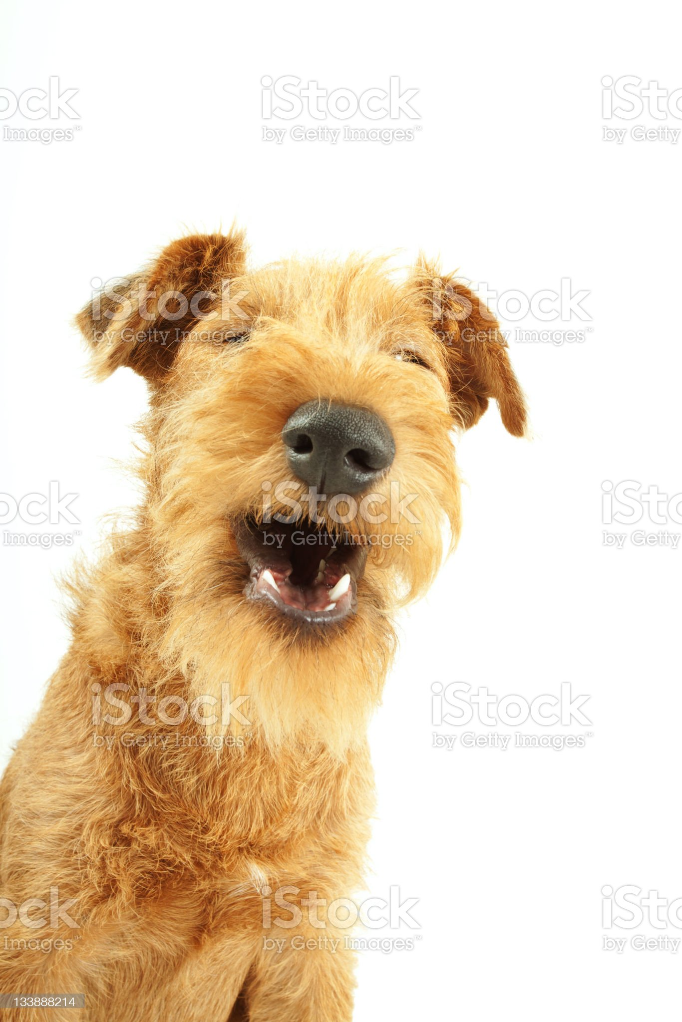 A purebred Irish terrier on his own with his mouth open royalty-free stock photo