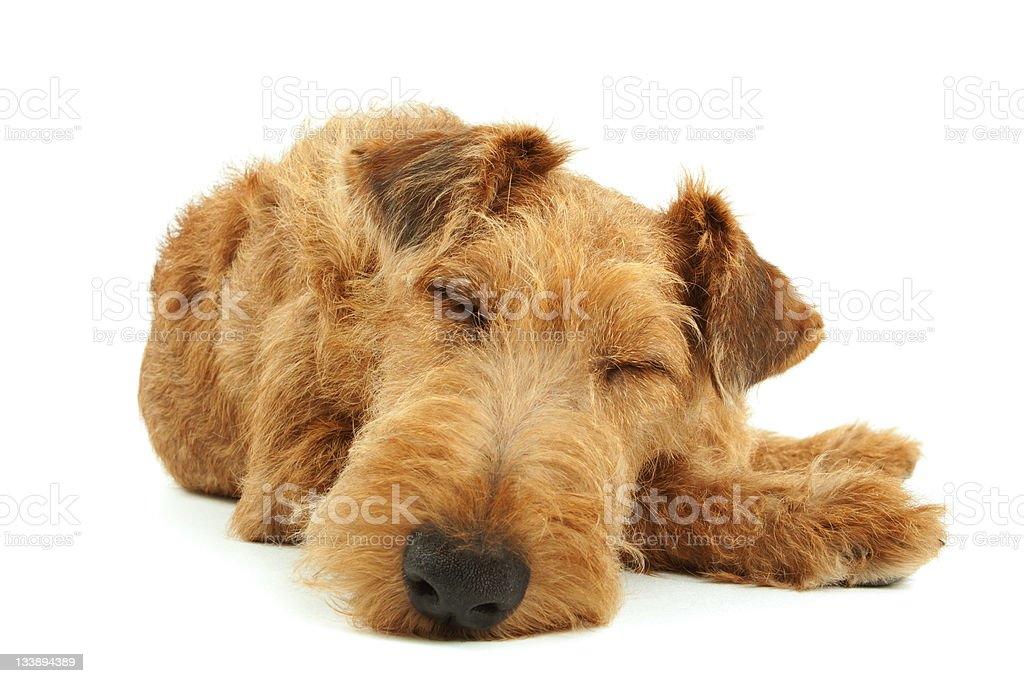 A purebred Irish Terrier sleeping isolated on white royalty-free stock photo