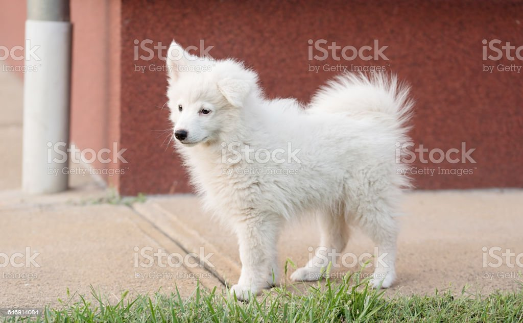 Purebred Japanese Spitz dog portrait stock photo