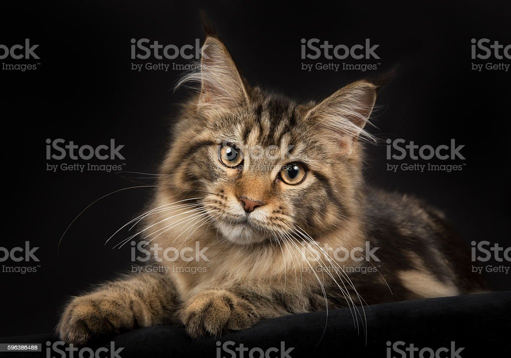Purebred Maine Coon cat isolated on black background stock photo