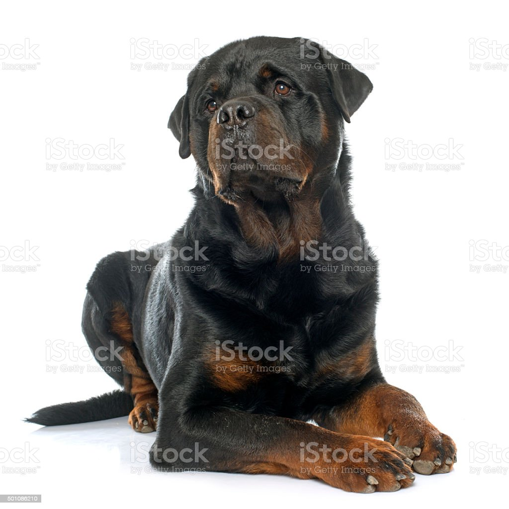 purebred male rottweiler stock photo
