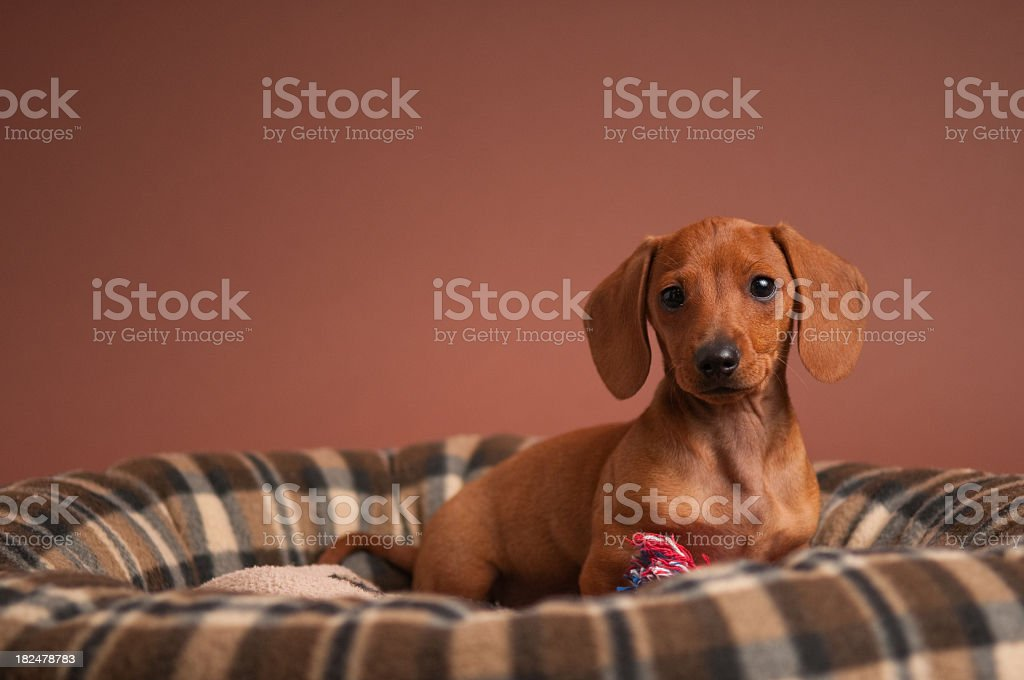 Purebred Miniature Dachshund in a Puppy Bed royalty-free stock photo