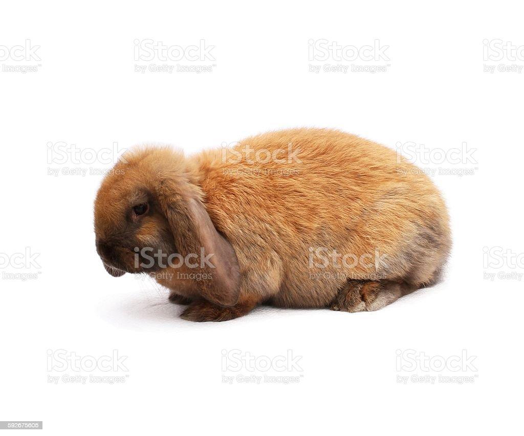 Purebred rabbit french sheep color madagascar stock photo
