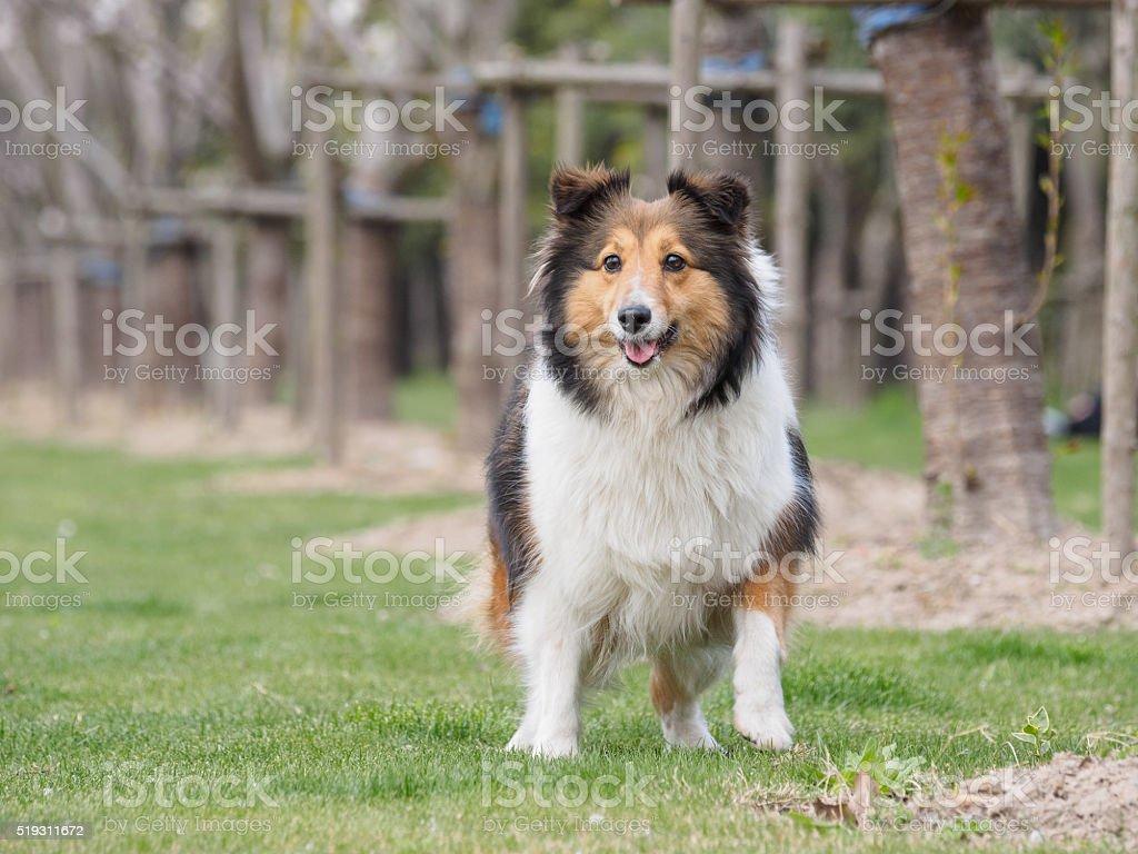 Purebred Shetland Sheepdog outdoors on grass meadow stock photo