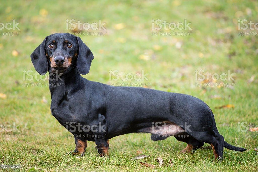 Purebred shorthaired dachshund stock photo