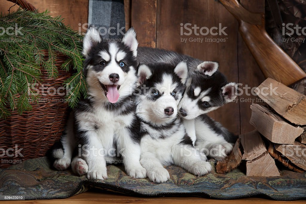 Purebred Siberian Husky puppies indoors stock photo