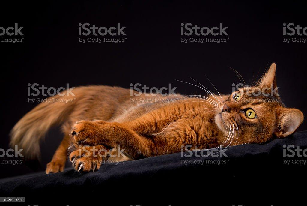 Purebred Somali cat stock photo