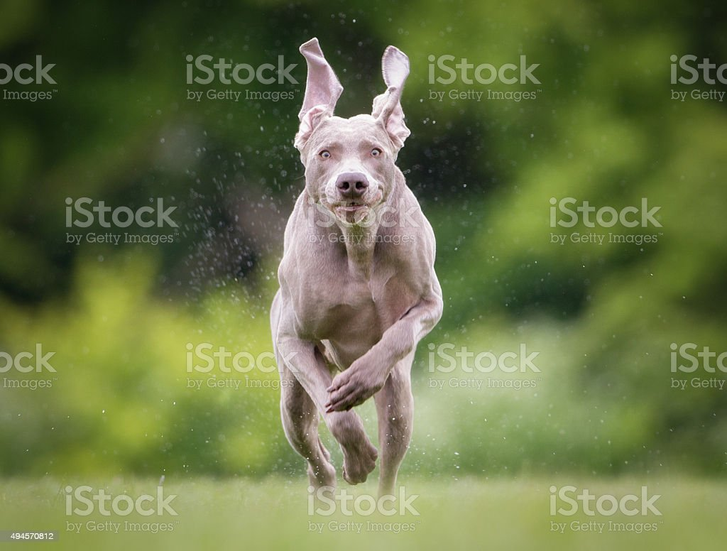 Purebred Weimaraner dog outdoors in nature stock photo