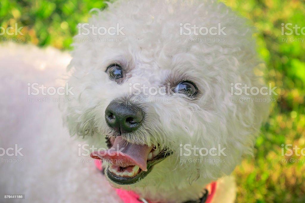 Purebred White Bichon Frise Dog Smiling stock photo