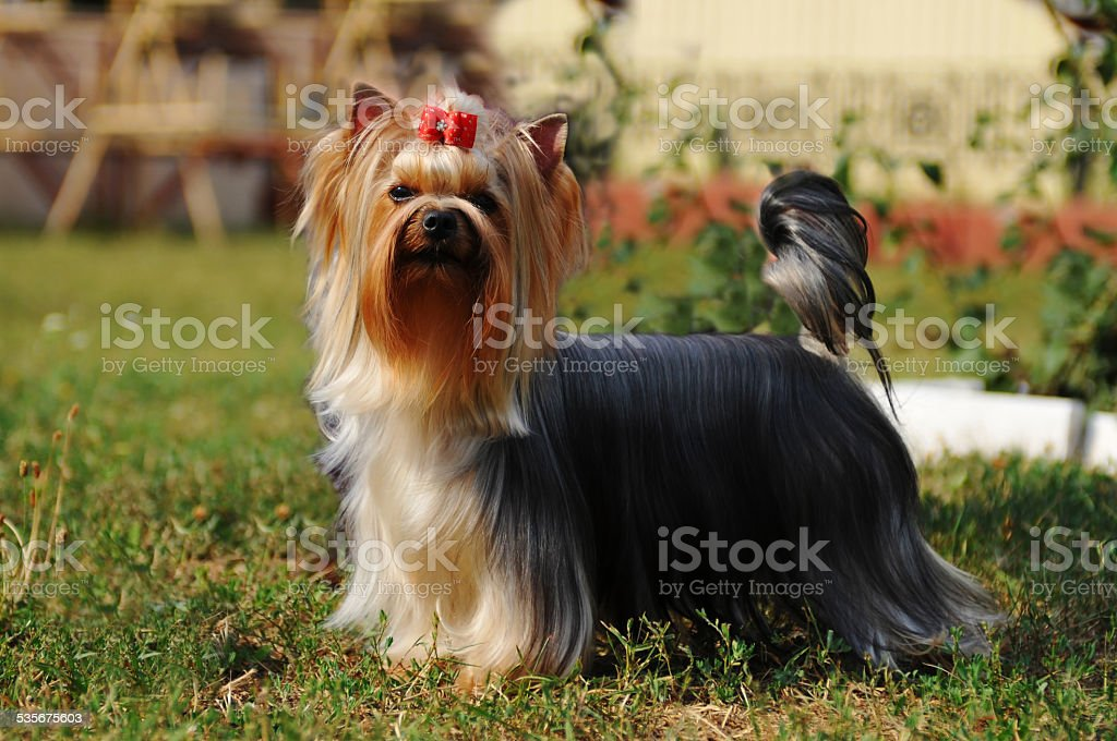 Purebred yorkshire terrier stock photo