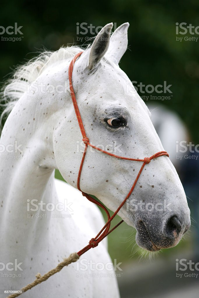Purebred young lipizzan horse standing at rural horse farm stock photo