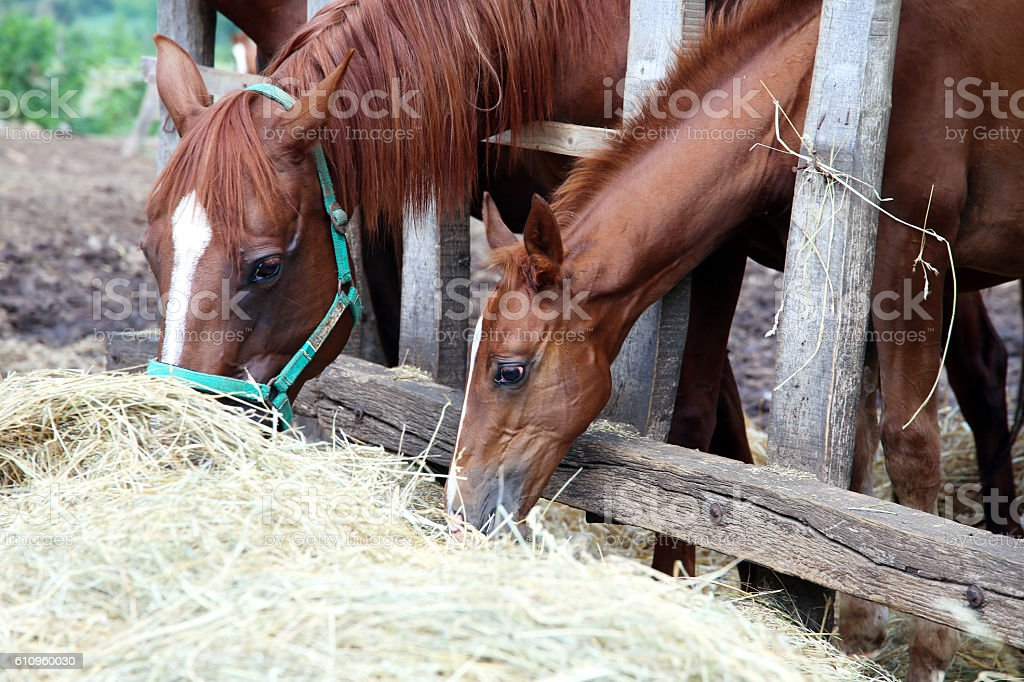 Purebred young mare and foal eating dry hay at  farm stock photo