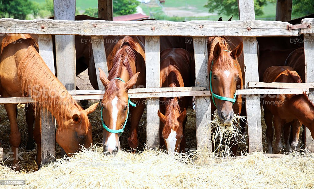 Purebred young mares and foals eating dry hay at farm stock photo