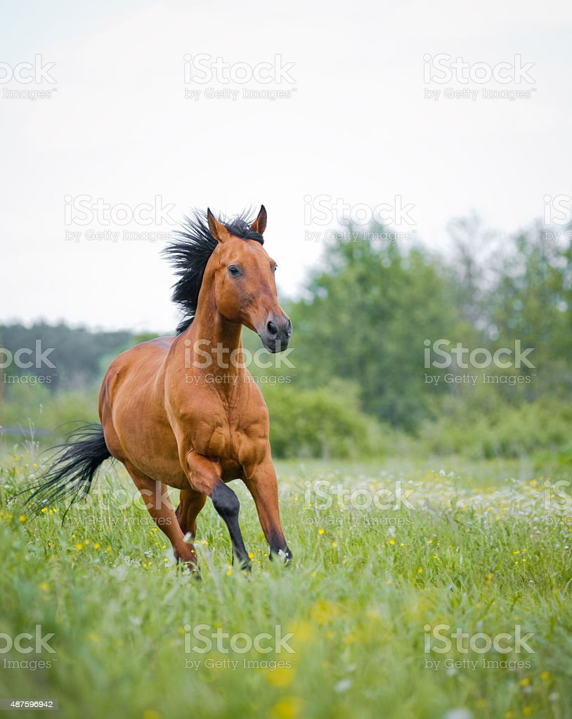 Purebred young stallion running stock photo