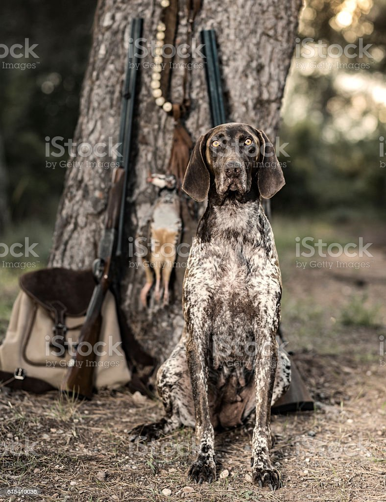 Purebreed hunting dog stock photo