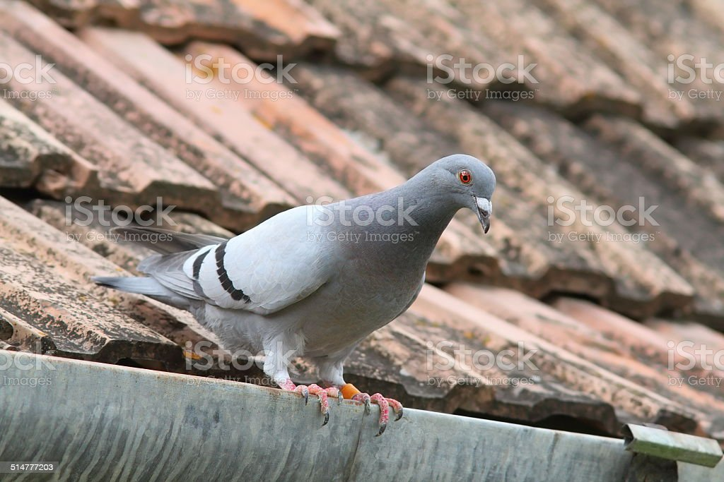 purebreed pigeon on roof stock photo