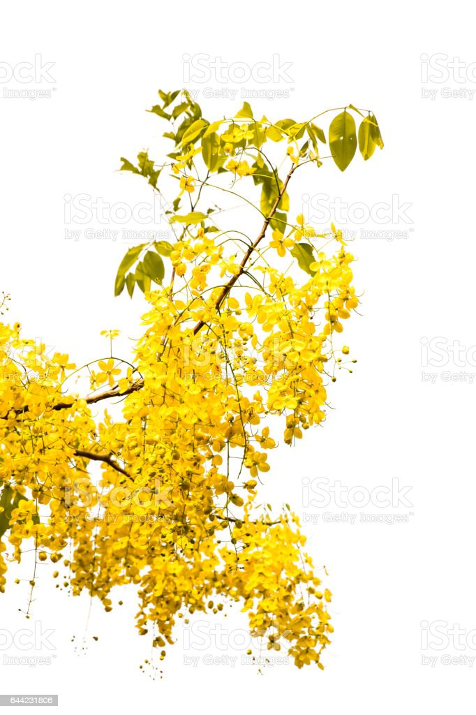 Purging cassia on white background stock photo