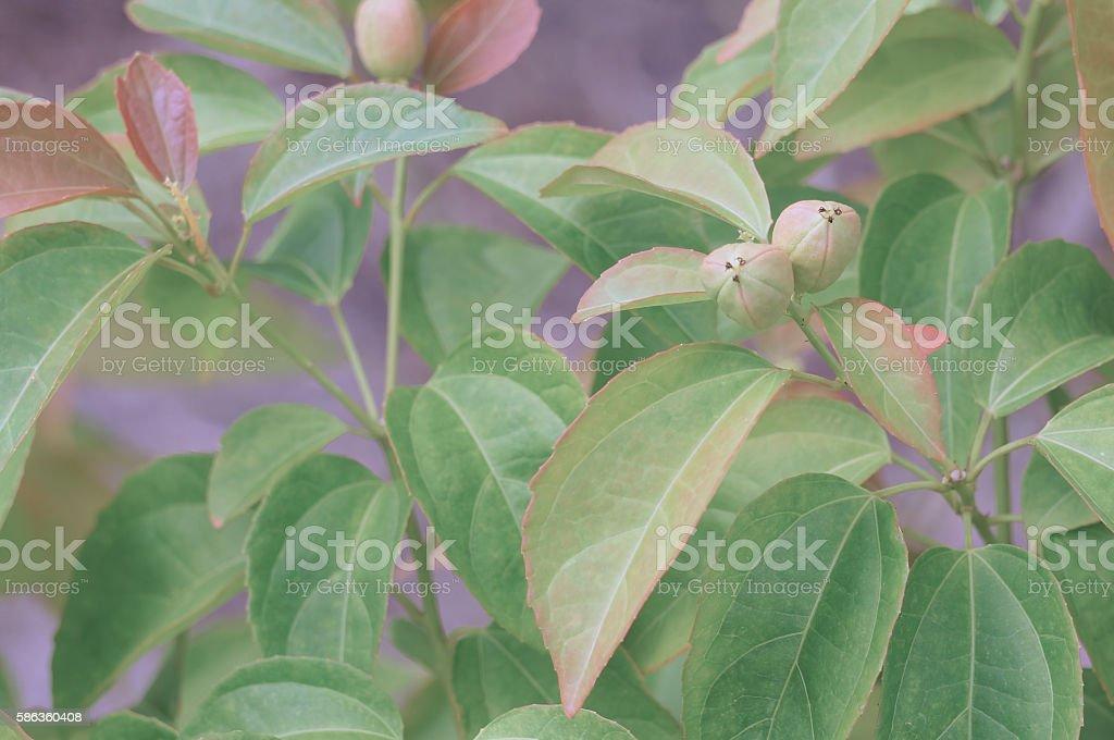 Purging Croton or Croton tiglium Linn with green leaves stock photo