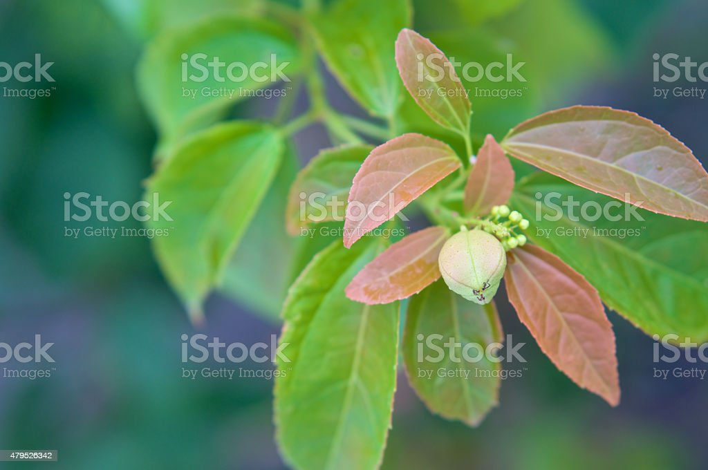 Purging Croton or Croton tiglium Linn with leaves sprout stock photo