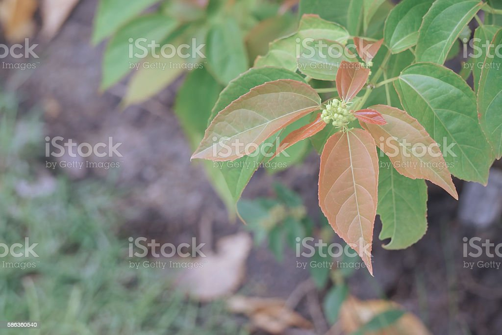 Purging Croton or Croton tiglium Linn with new leaves sprout stock photo