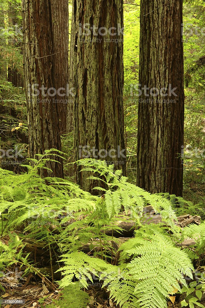 Purisima Creek Redwoods royalty-free stock photo