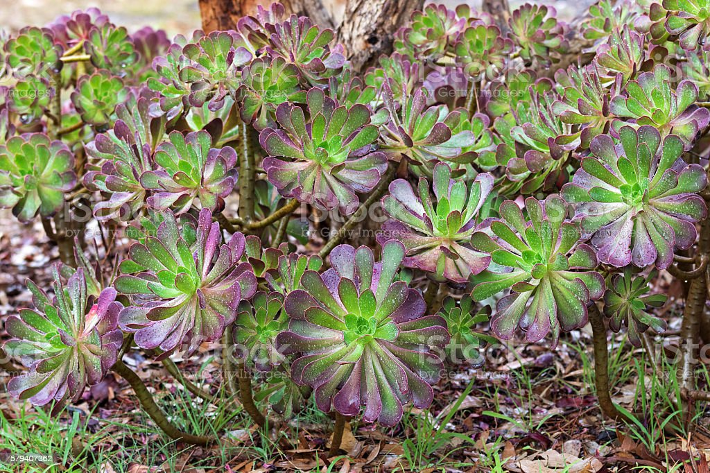 Purple Aeonium arboreum, tree houseleek in green with purple tips stock photo