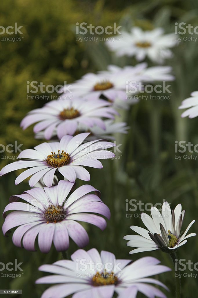 Purple African daisies stock photo