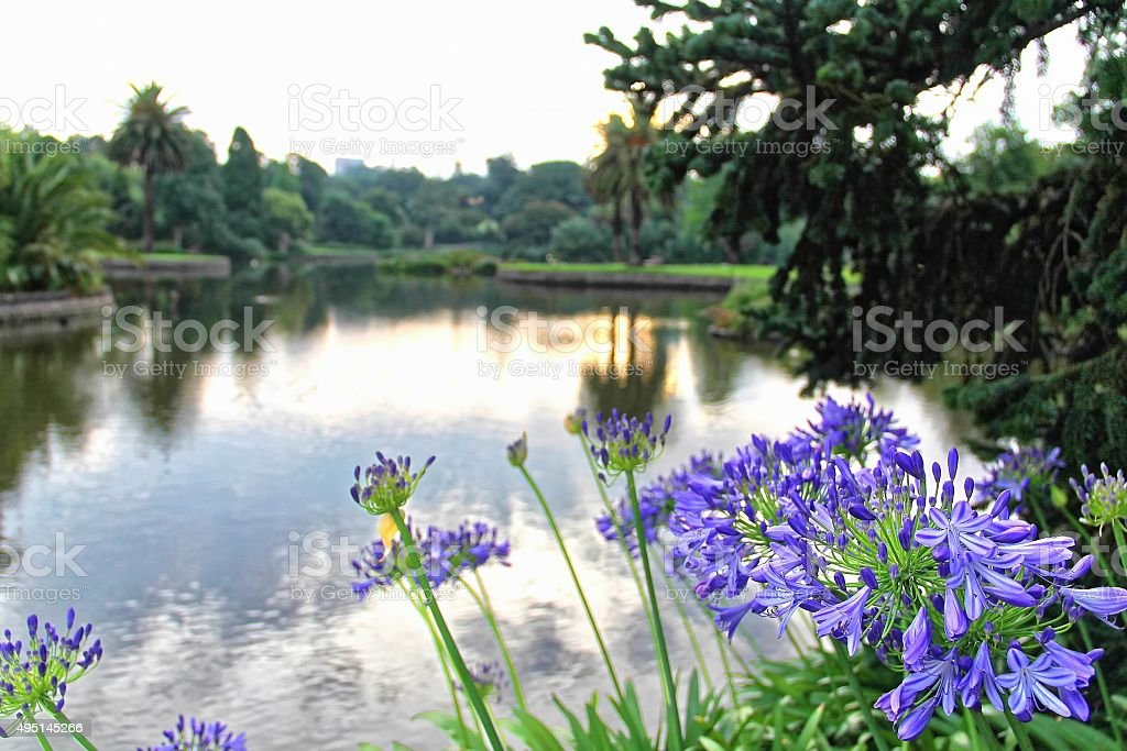 Purple Agapanthus flowers stock photo