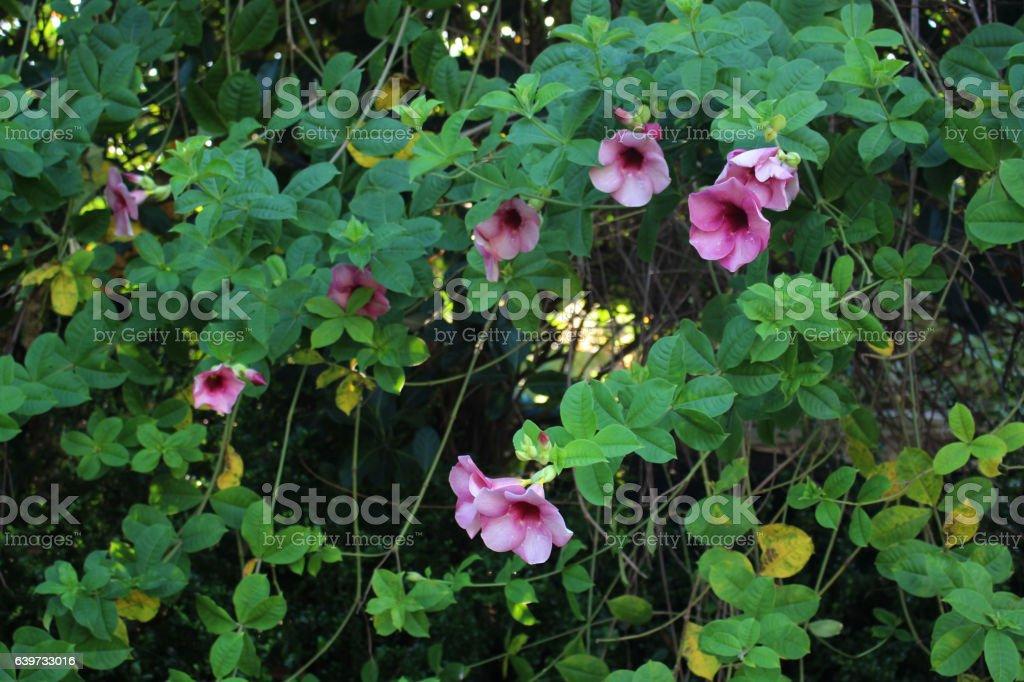 purple allamanda stock photo