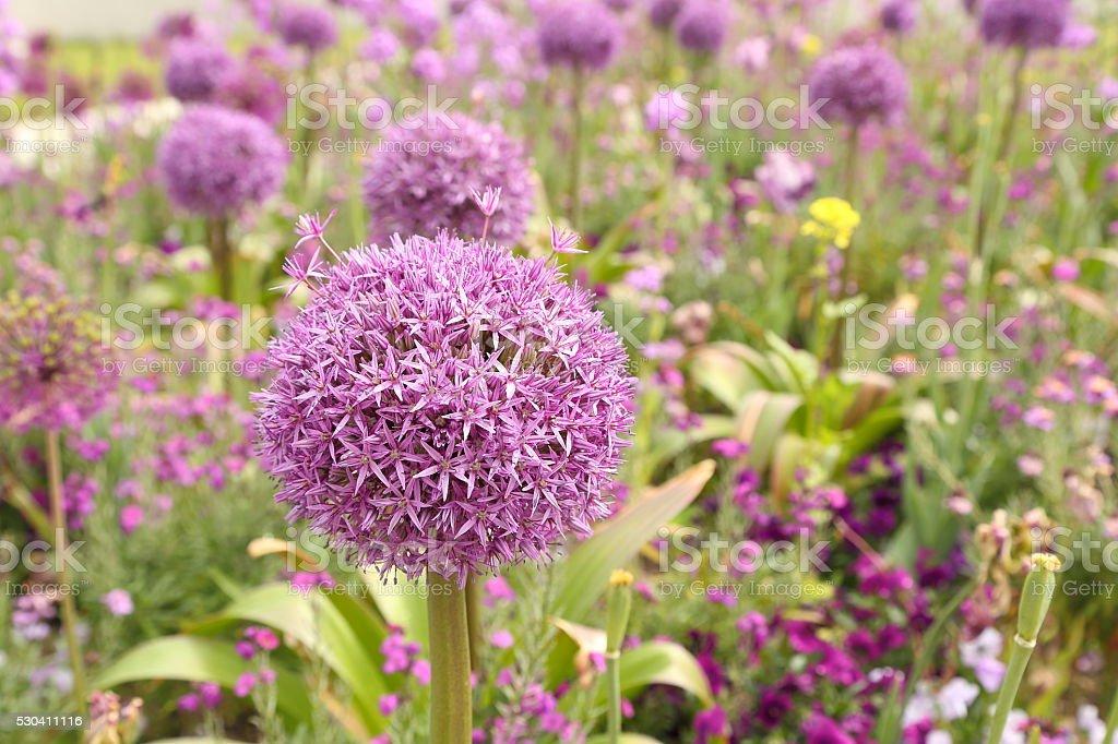 Purple allium flower stock photo